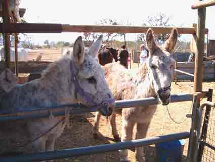 Why not sponsor or adopt a local Donkey